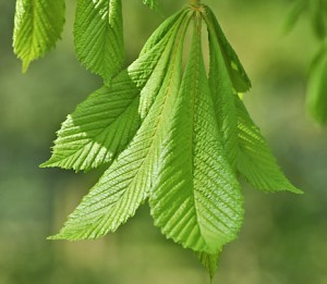 Horse_chestnut_leaf